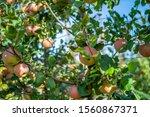 apples growing on a tree. apple ...   Shutterstock . vector #1560867371