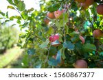 apples growing on a tree. apple ...   Shutterstock . vector #1560867377