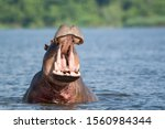 Impressive  Massive Hippo...