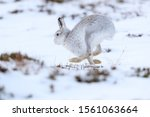 Stock photo mountain hare sitting on white snow during the winter mountain hares are arctic animals and 1561063664
