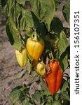 paprika garden  sweet pepper... | Shutterstock . vector #156107351