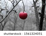 Burgundy Red Apple On The Tree...