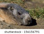 marmot alpine | Shutterstock . vector #156156791