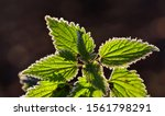 Closeup Of A Nettle With Green...