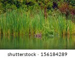 Duck Relaxing By The Cattail...