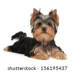 cute yorkshire terrier puppy on ... | Shutterstock . vector #156195437