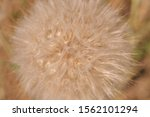 Salsify Flower Seeds Close Up....