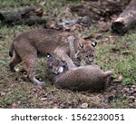 Small photo of Bobcat couple wrestling to subdue each other, while exposing their bodies, faces, heads, ears, eyes, mouth, paws, tails in their environment and surrounding.