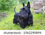 Scottish Terrier Black Dog ...