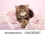 Stock photo brown tabby exotic kitten lying on pink ribbon on lilac pink background 156235367