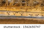 Geese Taking Flight From The...