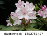 Delicate Pale Pink Rhododendron ...