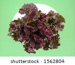 crispy and fresh lettuce close...   Shutterstock . vector #1562804