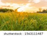 Rice Field In Beautiful Sunrise
