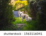Long Haired Chihuahua In A...