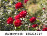 Stock photo rose in nature 156316319