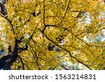 Ancient Ginkgo Tree In Autumn ...