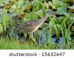 Young Yellow Crowned Night Heron