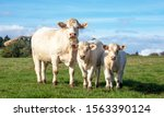 White Cow With Calves In The...