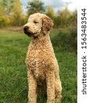 Goldendoodle Kali Is Posing In...