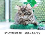 Stock photo brown kitten of siberian breed with a little scratching post 156352799