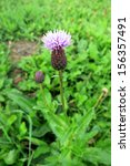 creeping thistle  cirsium... | Shutterstock . vector #156357491