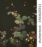 Photo Of Colorful Lilypads And...