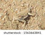Desert Horned Lizard...