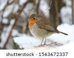 Robin In A Snowy Wood