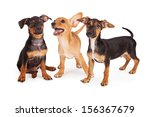 Stock photo three young mixed breed puppy siblings playing together 156367679