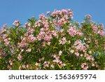 Pink Oleander Flowers  Nerium...