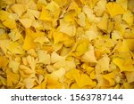Golden Ginkgo Biloba Tree...