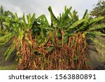 A Bunch Of Red Banana Trees On...