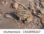 Dark Spotted Frog  Scientific...