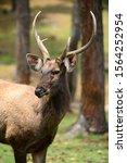 Samba Deer Found In Bhutan