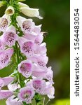 Digitalis Or Foxglove With...