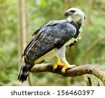 Majestic Harpy Eagle In The...