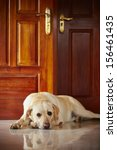 Labrador Retriever Is Lying In...