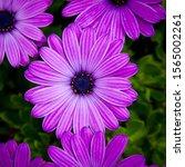 Purple Osteospermum Flower On...