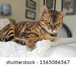 Adult Bengal Cat Staring...