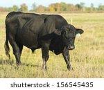 Mean Angus Bull
