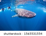 Swimming With Whale Shark In...