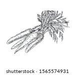 carrot with leaves in line art... | Shutterstock .eps vector #1565574931