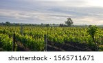A Young Vineyard At Dawn In The ...