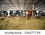 The Cows In The Cowshed Eating...