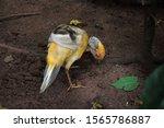 Vivid Colours Of Golden Pheasant
