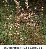 Blowfly grass briza maxima or...