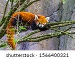 Closeup Portrait Of A Red Panda ...