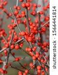 Common Winterberry   Latin Nam...
