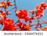 Chinese Quince Blossom In...